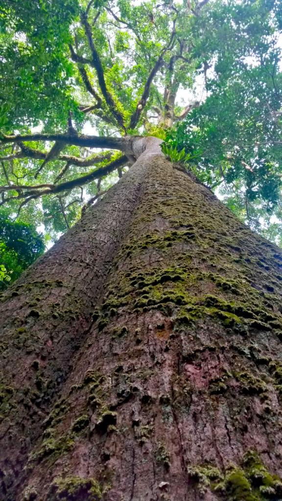 Lao Tree 2
